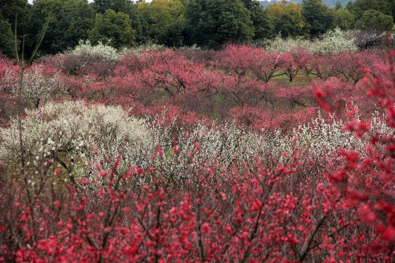 长兴红梅园-长兴风景-长兴县旅游协会